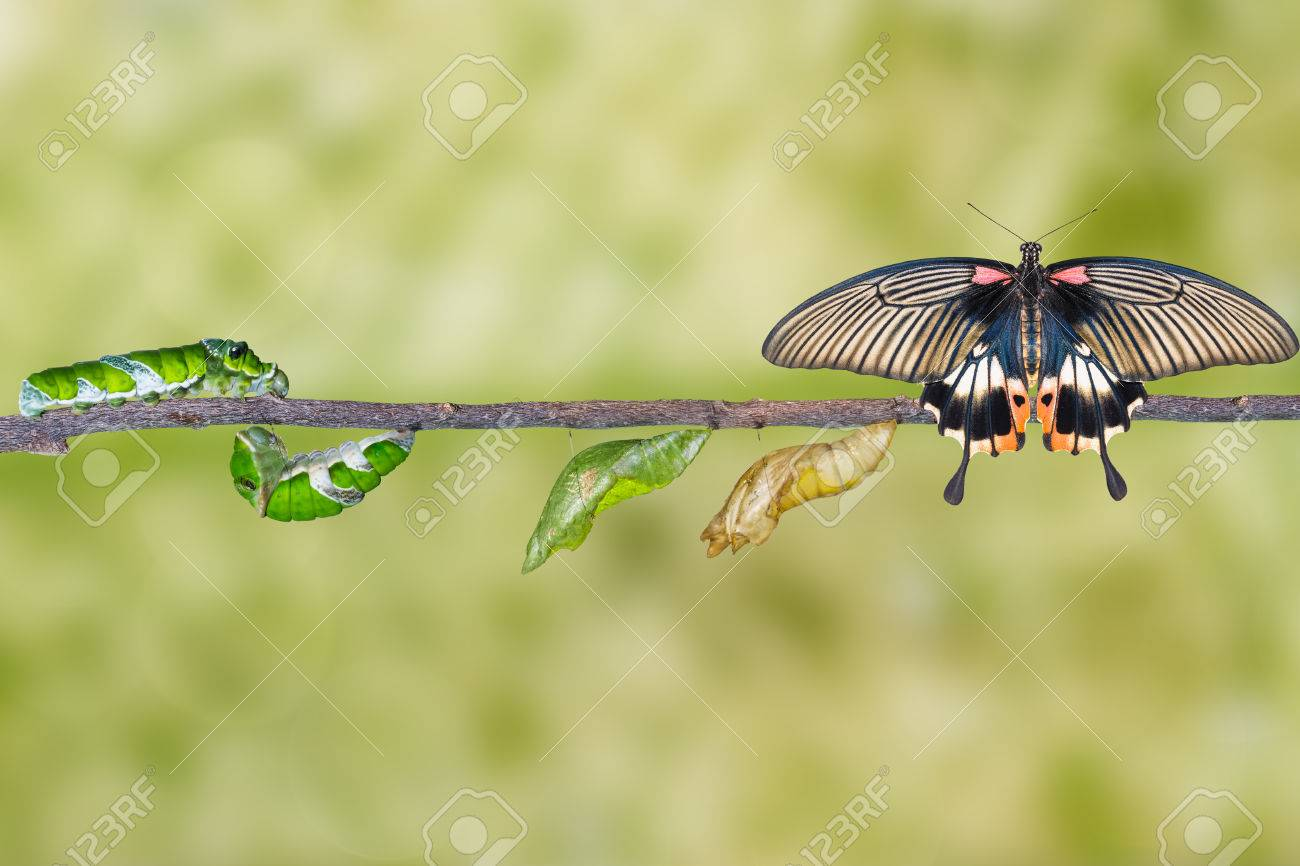Life cycle of female great mormon butterfly from caterpillar - 63743806