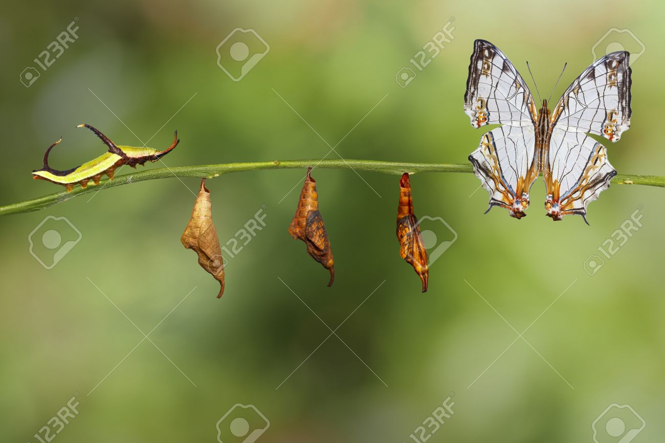 Transformation of common map (Cyrestis thyodamas ) butterfly from caterpillar on twig - 70806226