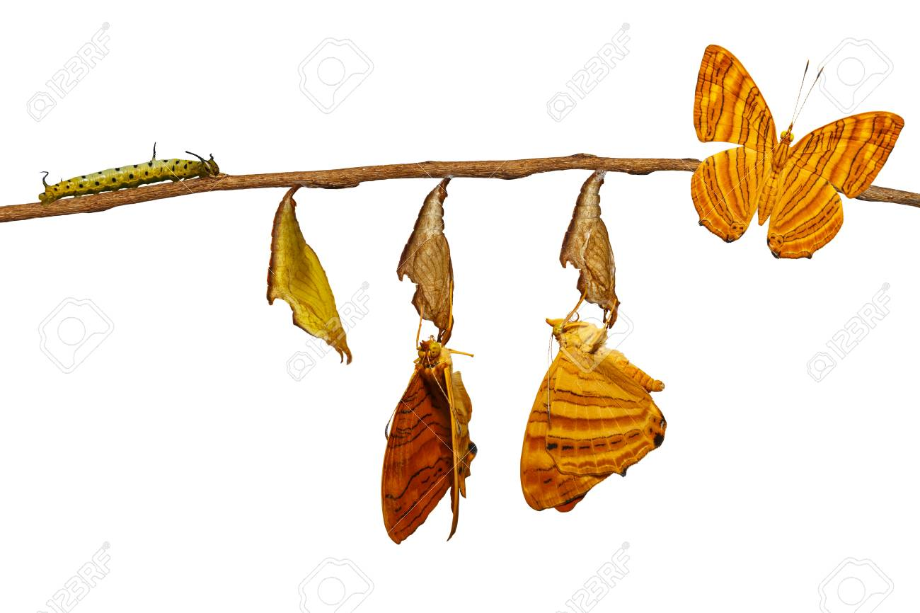 Isolated life cycle of common maplet (Chersonesia risa ) butterfly hanging on chrysalis shell and twig with clipping path - 89491834