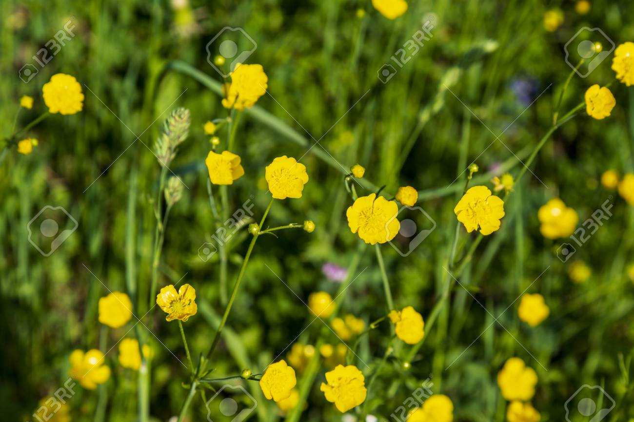 Yellow Buttercup Flowers Blooming On Mountain In Spring Season