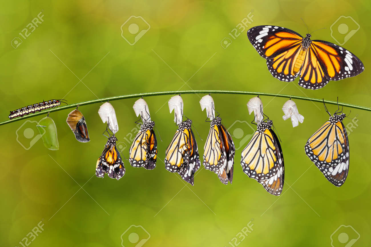 Transformation of common tiger butterfly ( Danaus genutia ) nd pupa hanging on twig , growth, chnage, - 155288543