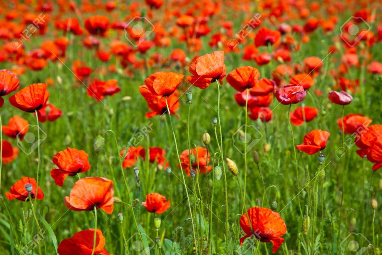 Poppy field meadow with wind turbine Stock Photo - 7267207