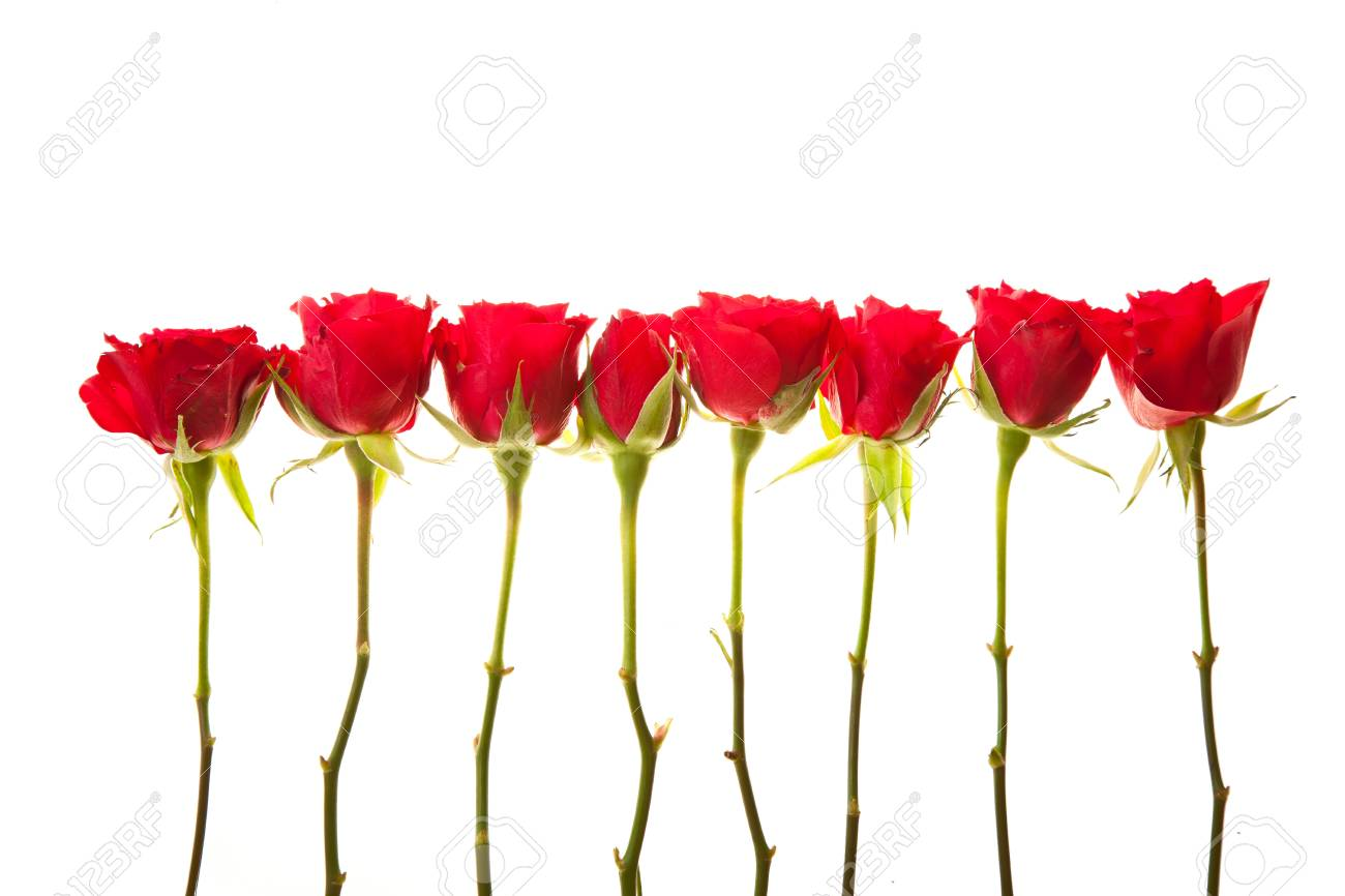 Red roses on white isolated background valentine's day Stock Photo - 8582227