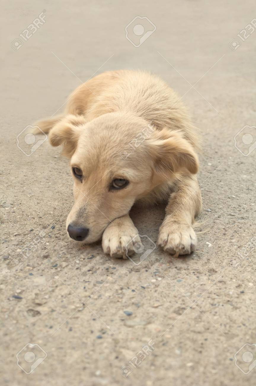 Close up portrait of a yellow dog lying on the asphalt road Stock Photo - 17259513
