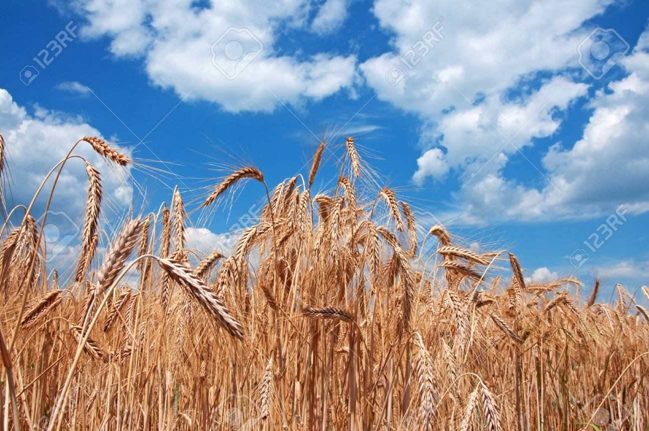 Gold wheat field and blue sky with clouds Stock Photo - 17259521