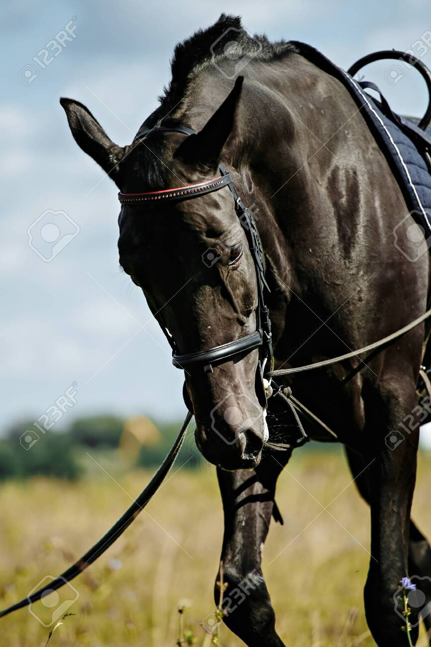 Training a black horse on the lunge. Outside on the field. Summer day - 119267765