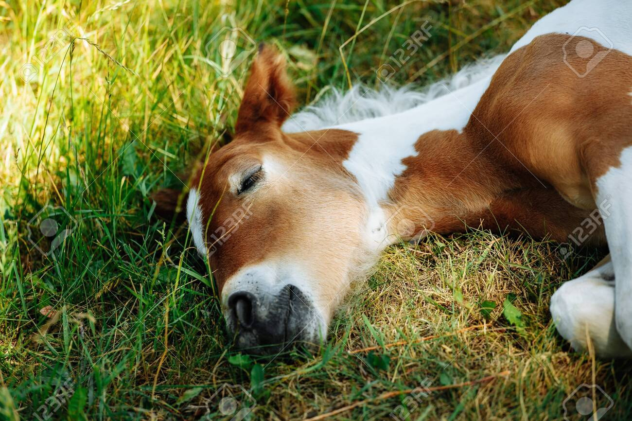 Horse Foal Lying On Green Grass Horse Colt In Nature Cute Horse Stock Photo Picture And Royalty Free Image Image 126598326