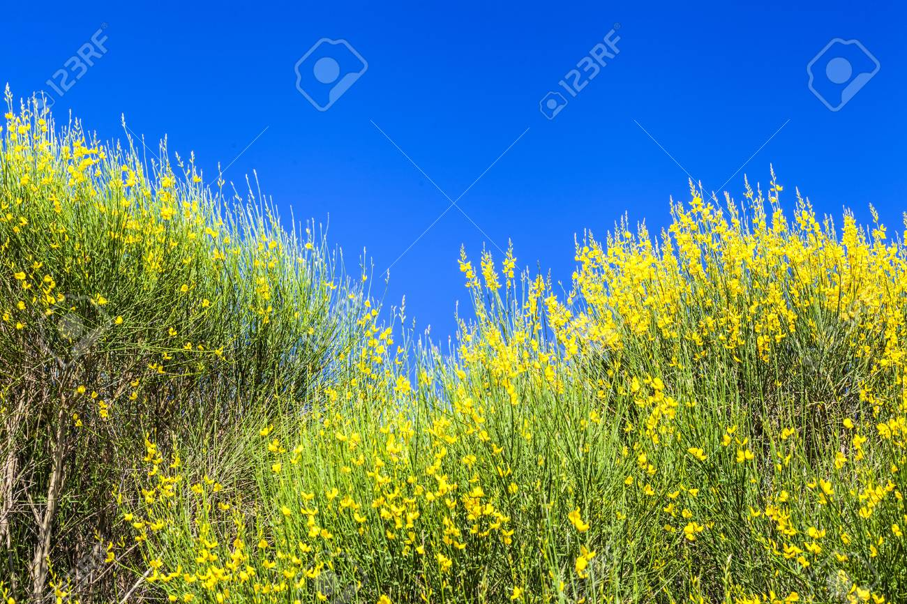 Fiori Gialli Toscana.Immagini Stock Fiori Gialli Albero Sul Cielo Blu Toscana Italia