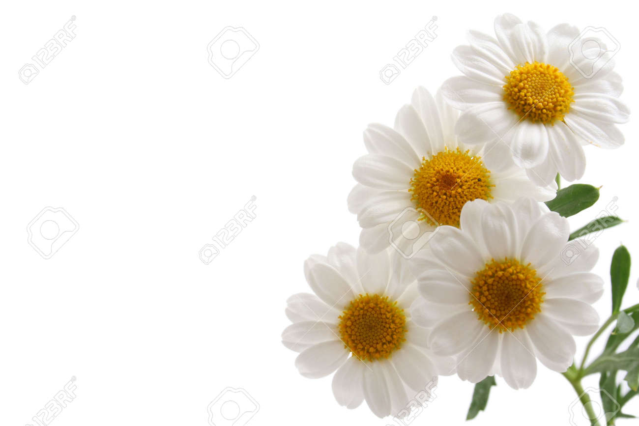 Close ups of white marigold isolated on white stock photo picture close ups of white marigold isolated on white stock photo 1744669 mightylinksfo