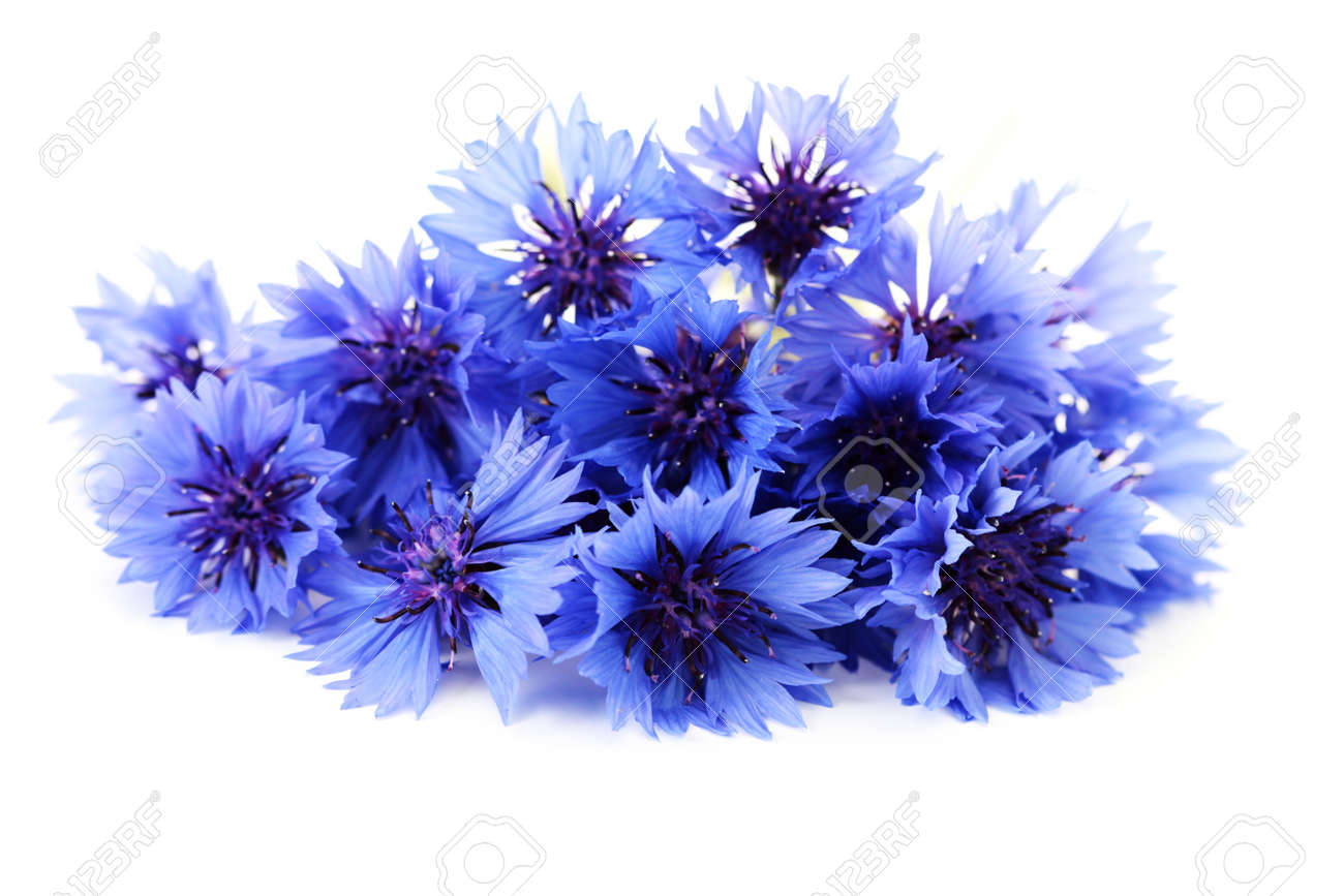 Blue cornflowers on white background flowers and plants stock blue cornflowers on white background flowers and plants stock photo 7566650 dhlflorist Image collections