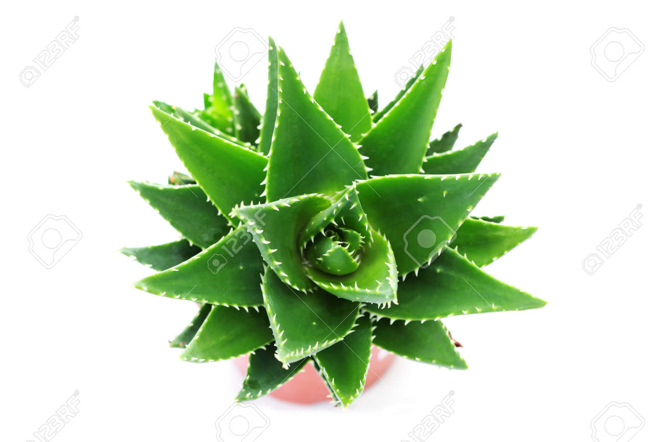 Close ups of aloe vera plant on white background flowers and close ups of aloe vera plant on white background flowers and plants stock photo dhlflorist Image collections