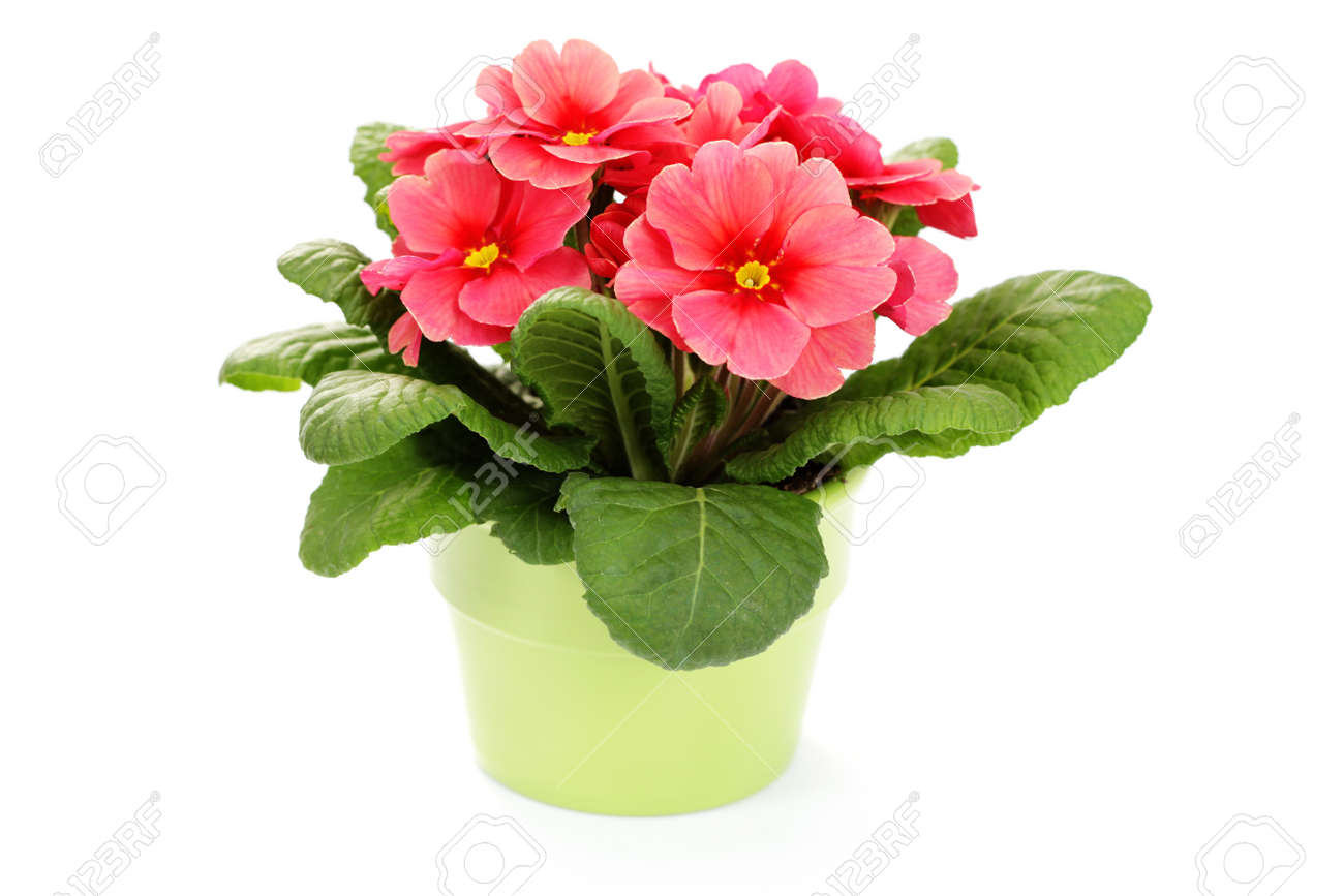 Lovely primula on white background flowers and plants stock lovely primula on white background flowers and plants stock photo 8935295 dhlflorist Image collections