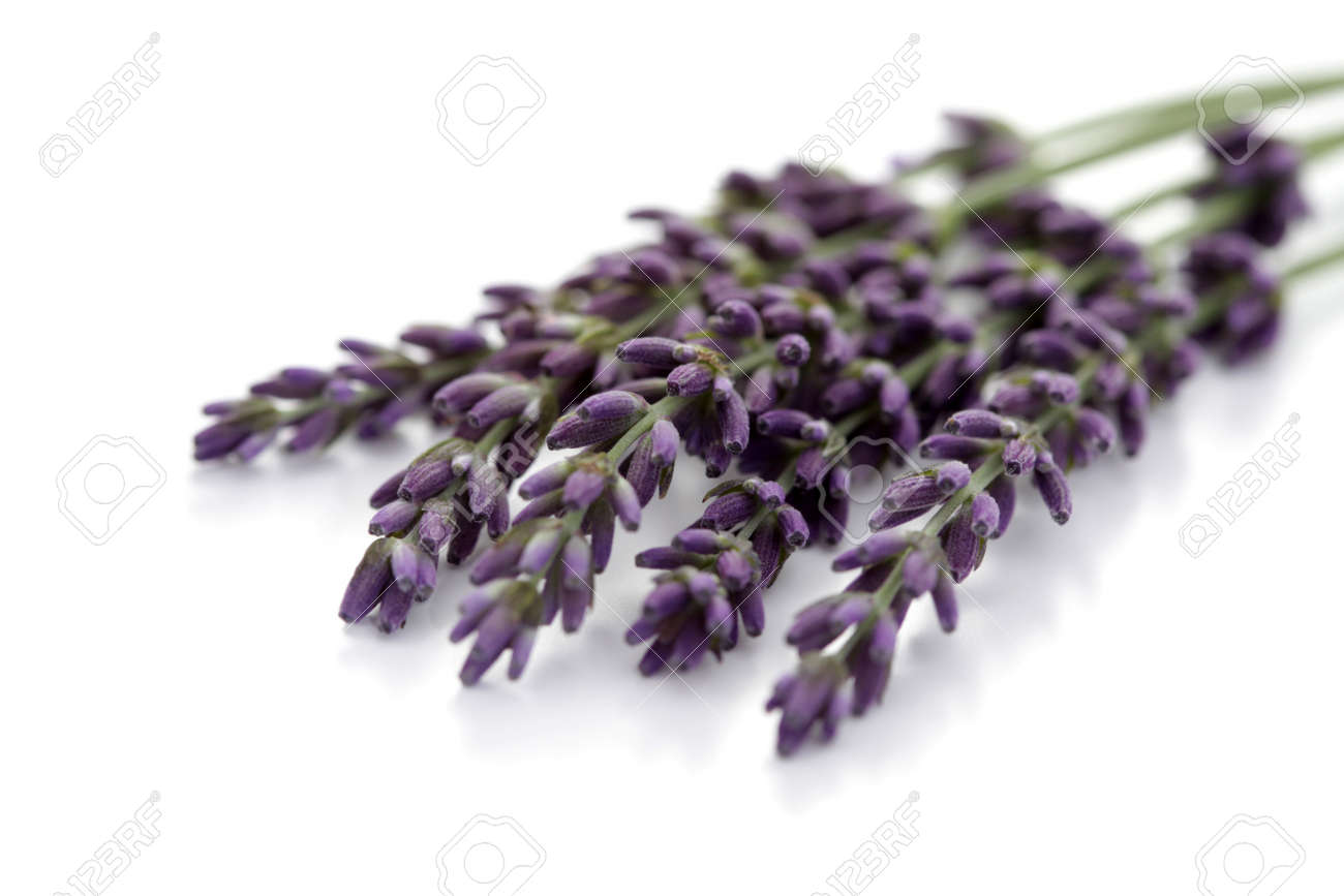 Lavender flowers on white background flowers and plants stock lavender flowers on white background flowers and plants stock photo 10342898 dhlflorist Image collections