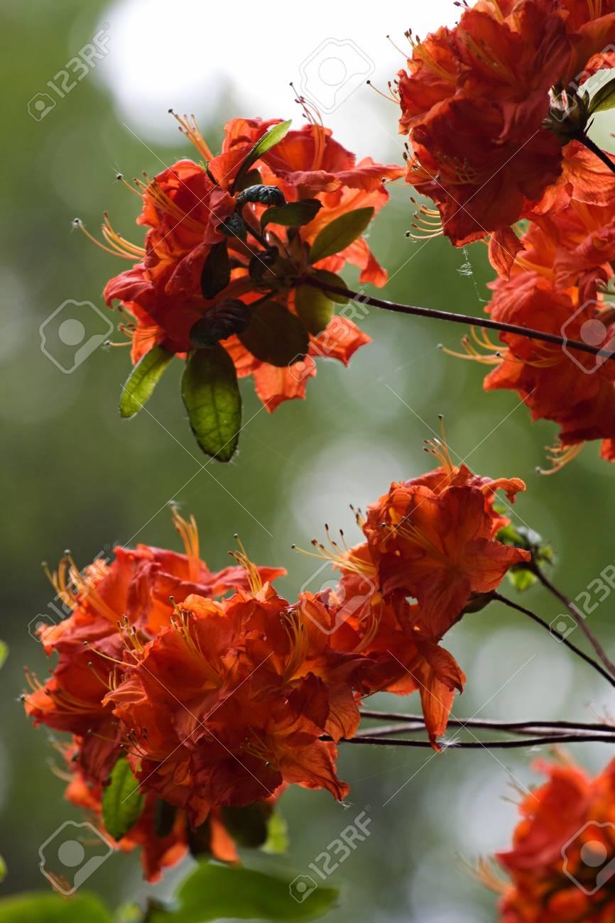 Schöne Tropische Rhododendronblüten Schöne Blühende Pflanzen Im