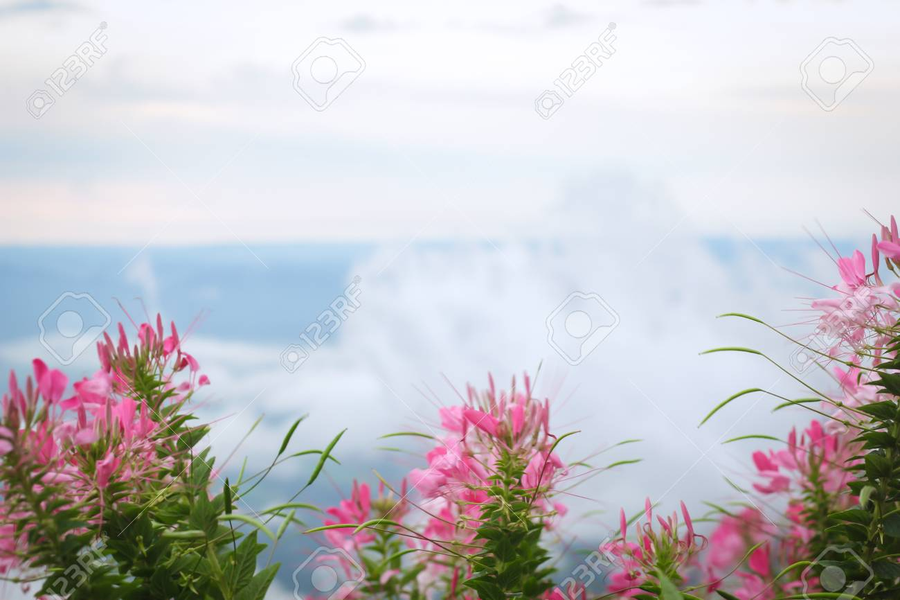Pink And White Spider Flower Stock Photo Picture And Royalty Free