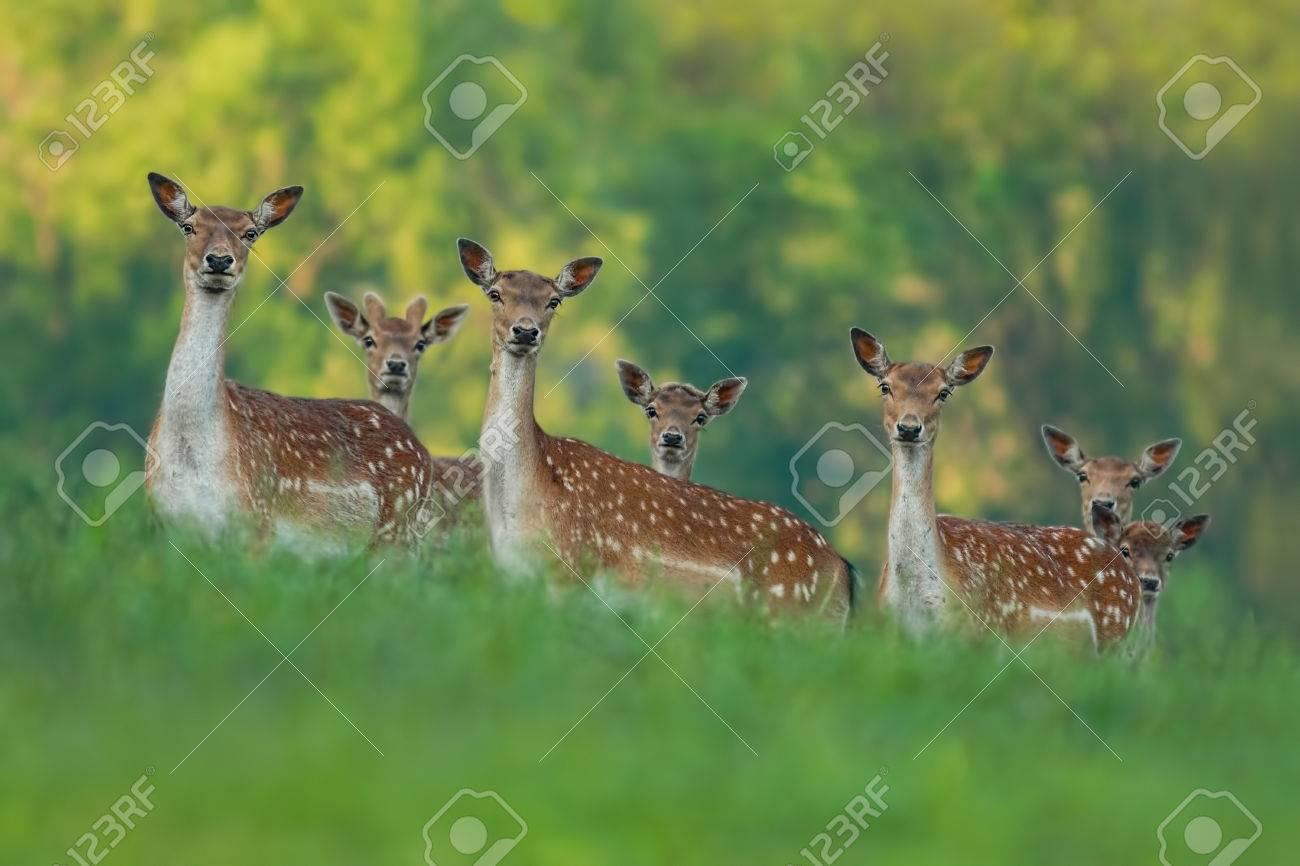 fallow deer family - doe mothers and fawn babies - 51058806
