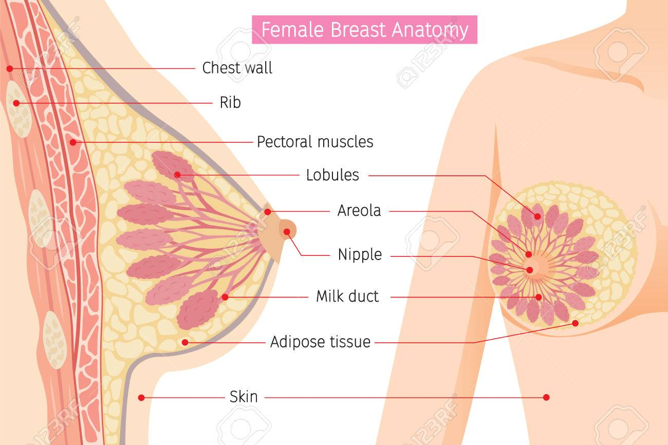 Cross Section Of Female Breast Anatomy, Mammary, Boob, Body ...