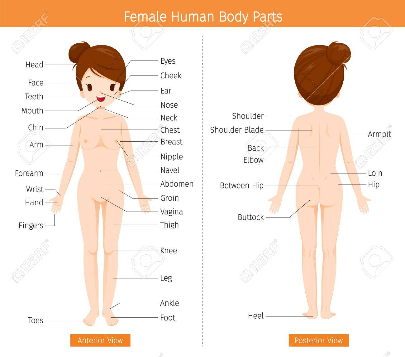 Female Human Anatomy External Organs Body Physiology Structure