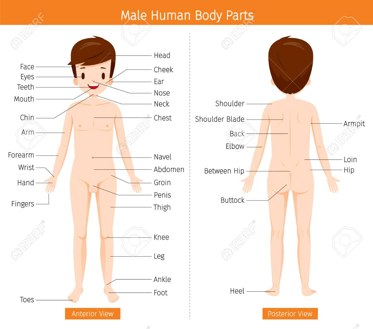 Anatomía Humana Masculina órganos Externos Cuerpo Fisiología Estructura Profesión Médica Morfología Saludable