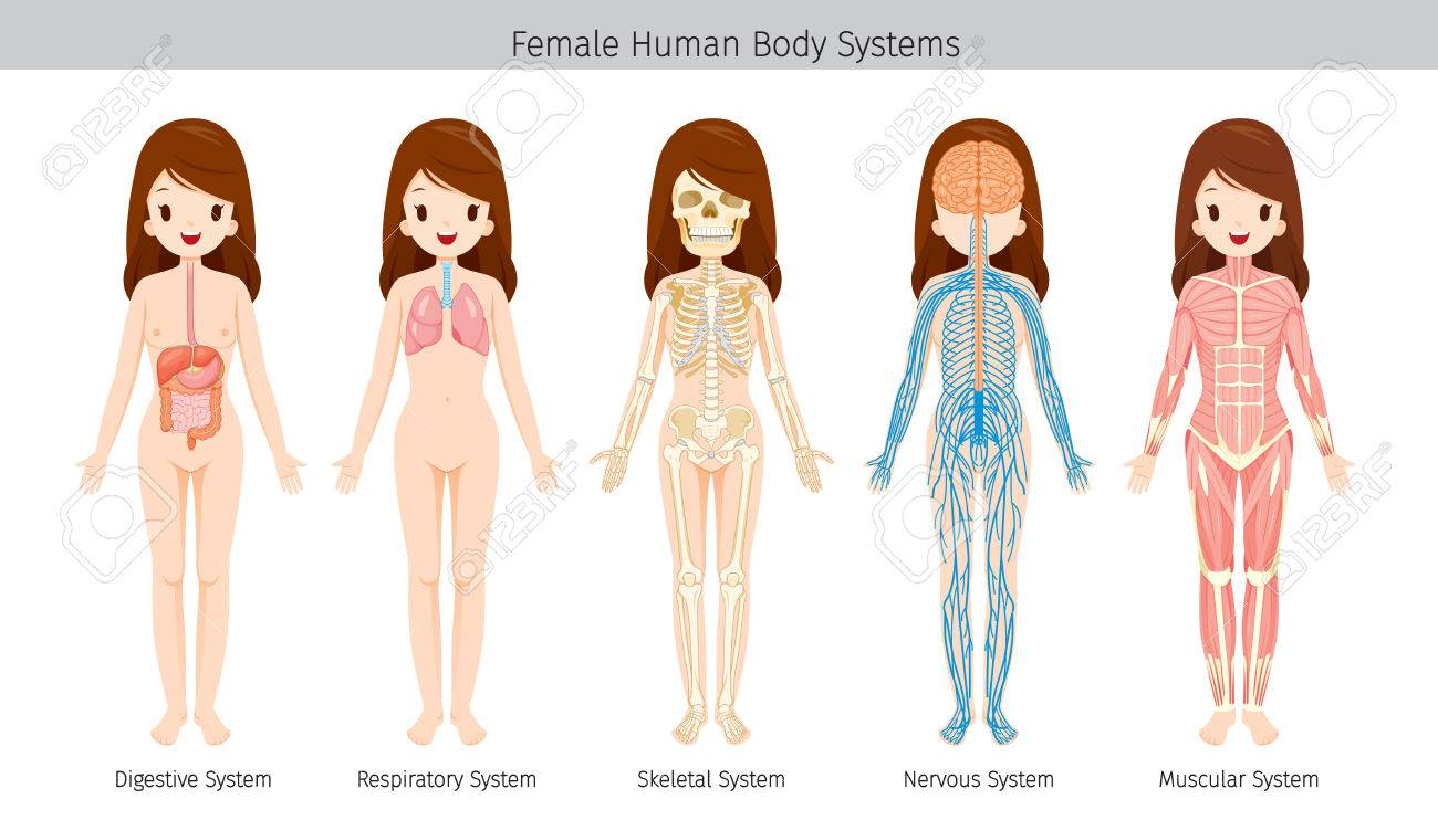 Female Human Anatomy Body Systems Physiology Structure Medical