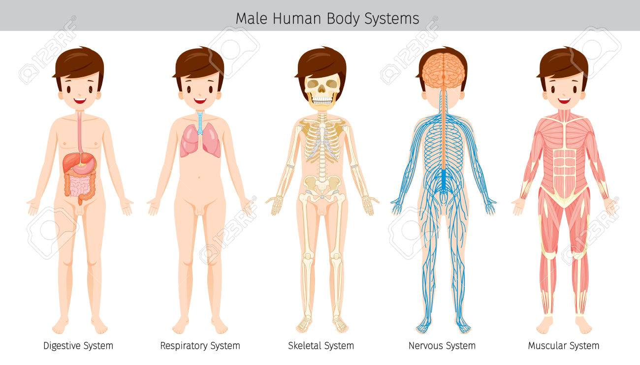 Male Human Anatomy Body Systems Physiology Structure Medical