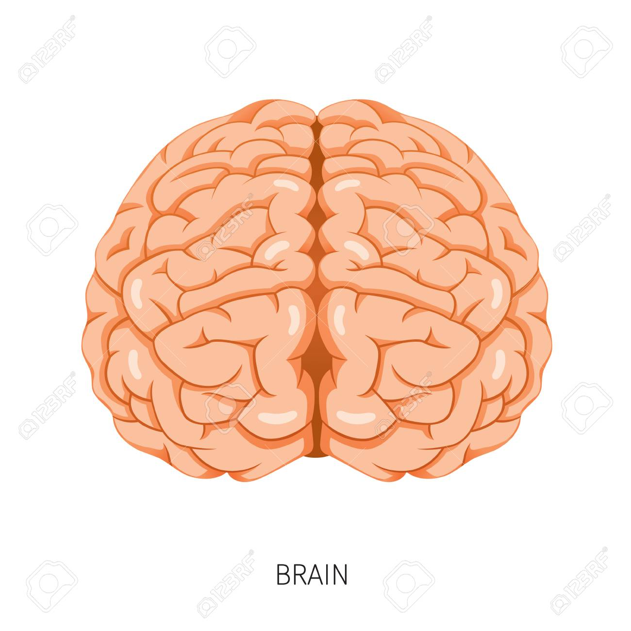 Brain Human Internal Organ Diagram Physiology Structure Medical