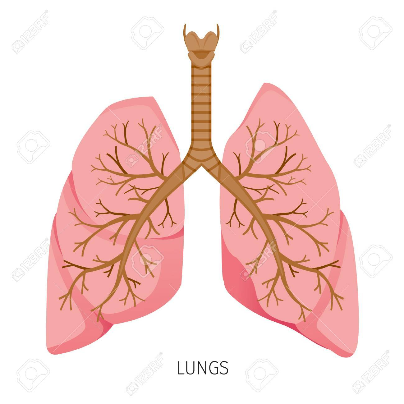 Lungs Human Internal Organ Diagram Physiology Structure Medical