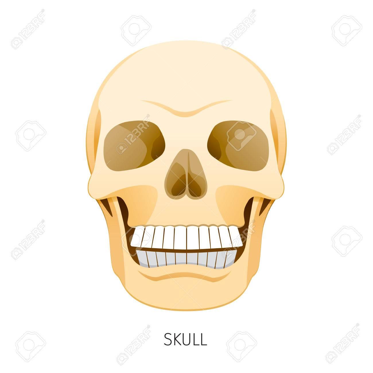 Skull, Human Internal Organs Organ Diagram, Physiology, Structure ...