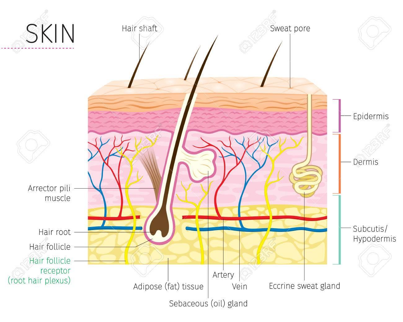 Mensch Anatomie, Haut Und Haar Diagramm, Teint, Physiologie, System ...