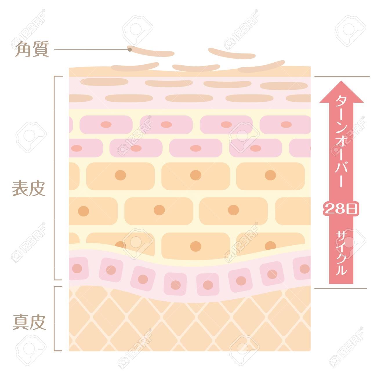 "It includes the following Japanese transcription. ""Epidermis"" ""corium"" ""keratin"" ""turn coat"" ""28 day cycle"" - 154456489"