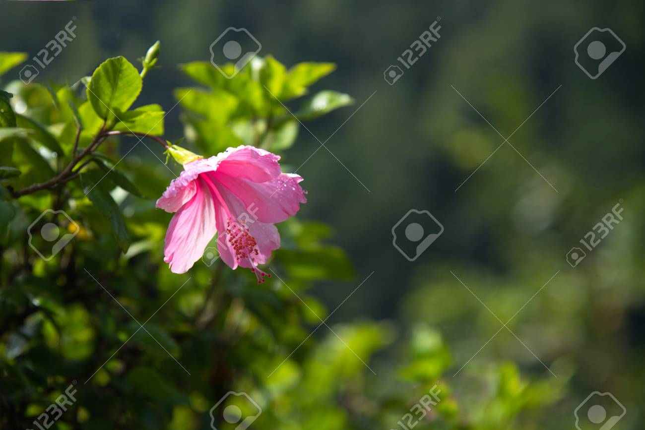 Hibiscus pink and fresh flower with water drop for wallpaper hibiscus pink and fresh flower with water drop for wallpaper or background stock photo izmirmasajfo