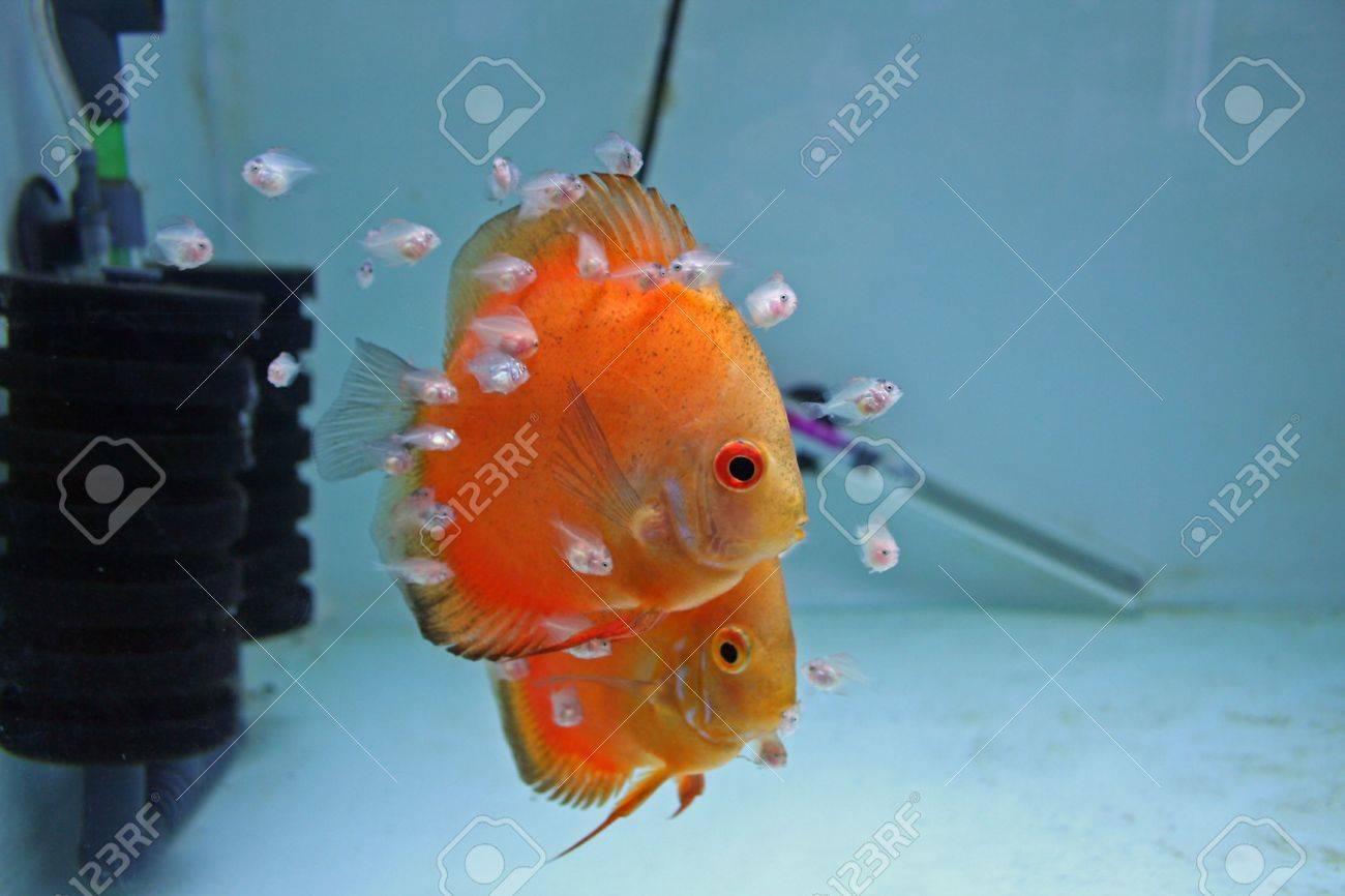 Baby Discus Fish | A Pair Of Marlboro Orange Discus Fish With Babies Feeding From