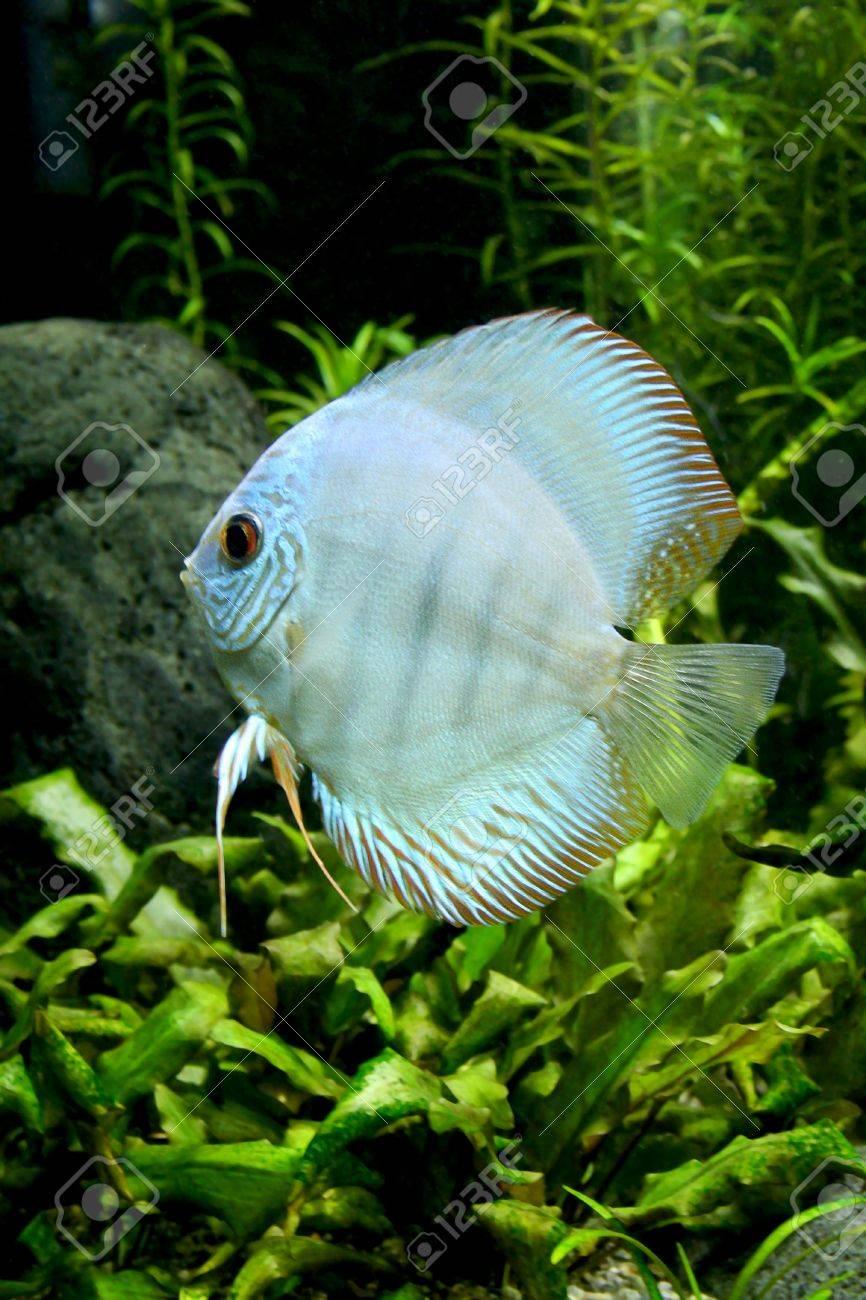 A Portrait Of A Blue Diamond Discus Fish- Symphysodon Aequifasciatus ...