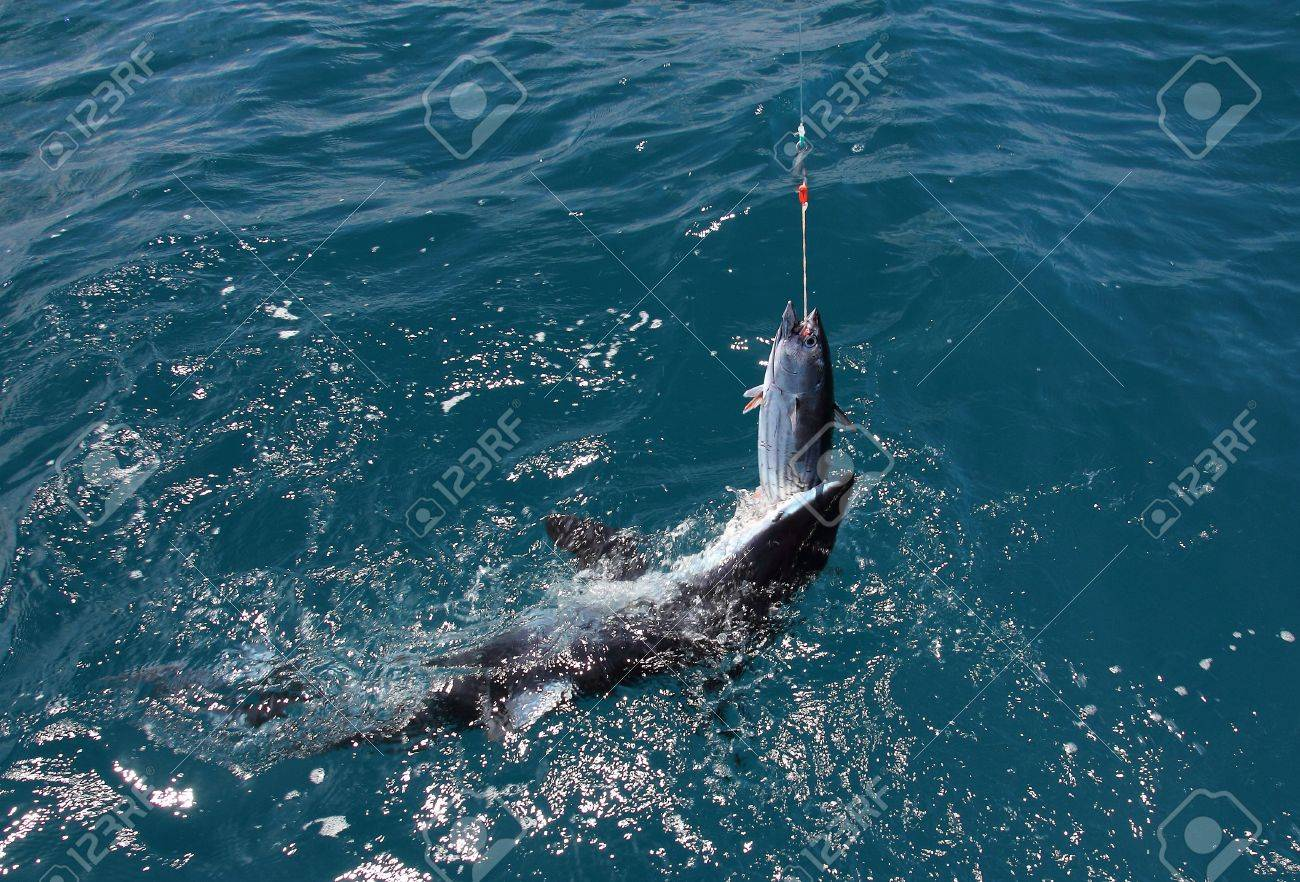 A Mako Shark attacks a Skipjack Tuna bait off Whakatane, Bay
