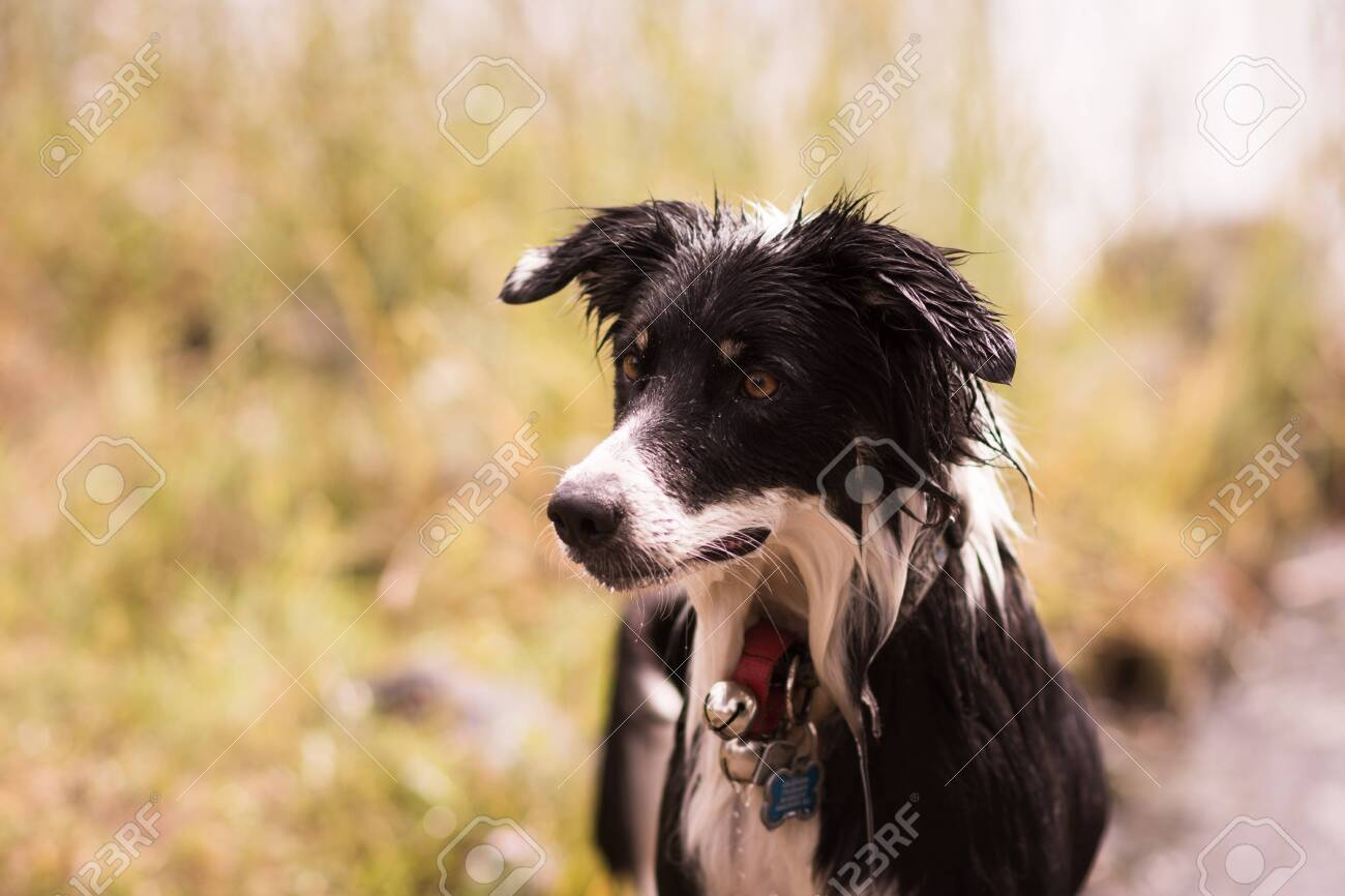 Border Collie Outside With A Collar On - 147560034