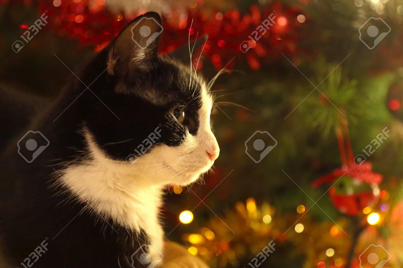 Un Chat Adulte Noir Et Blanc Est Assis Devant Un Sapin De Noël Décoré De Lumières Et De Bulles