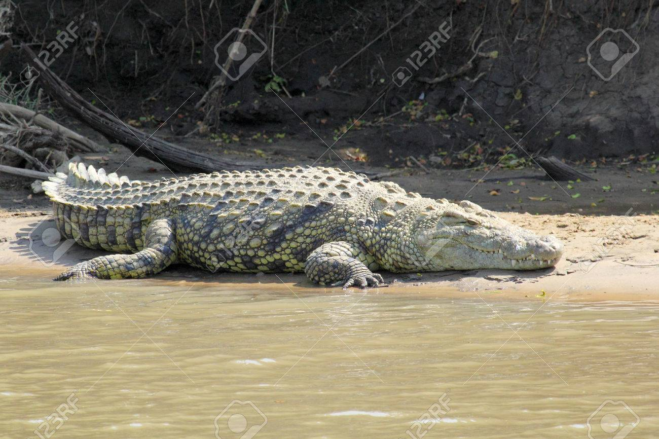 5ff0700d3ab6 A Huge Nile Crocodile