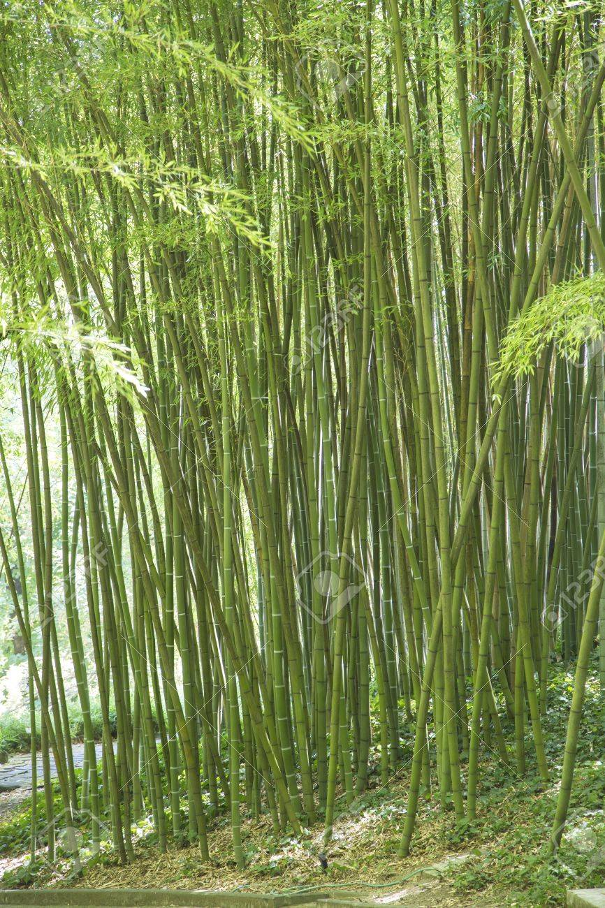 Stock Photo - View of green canes of giant bamboo in a ornamental garden