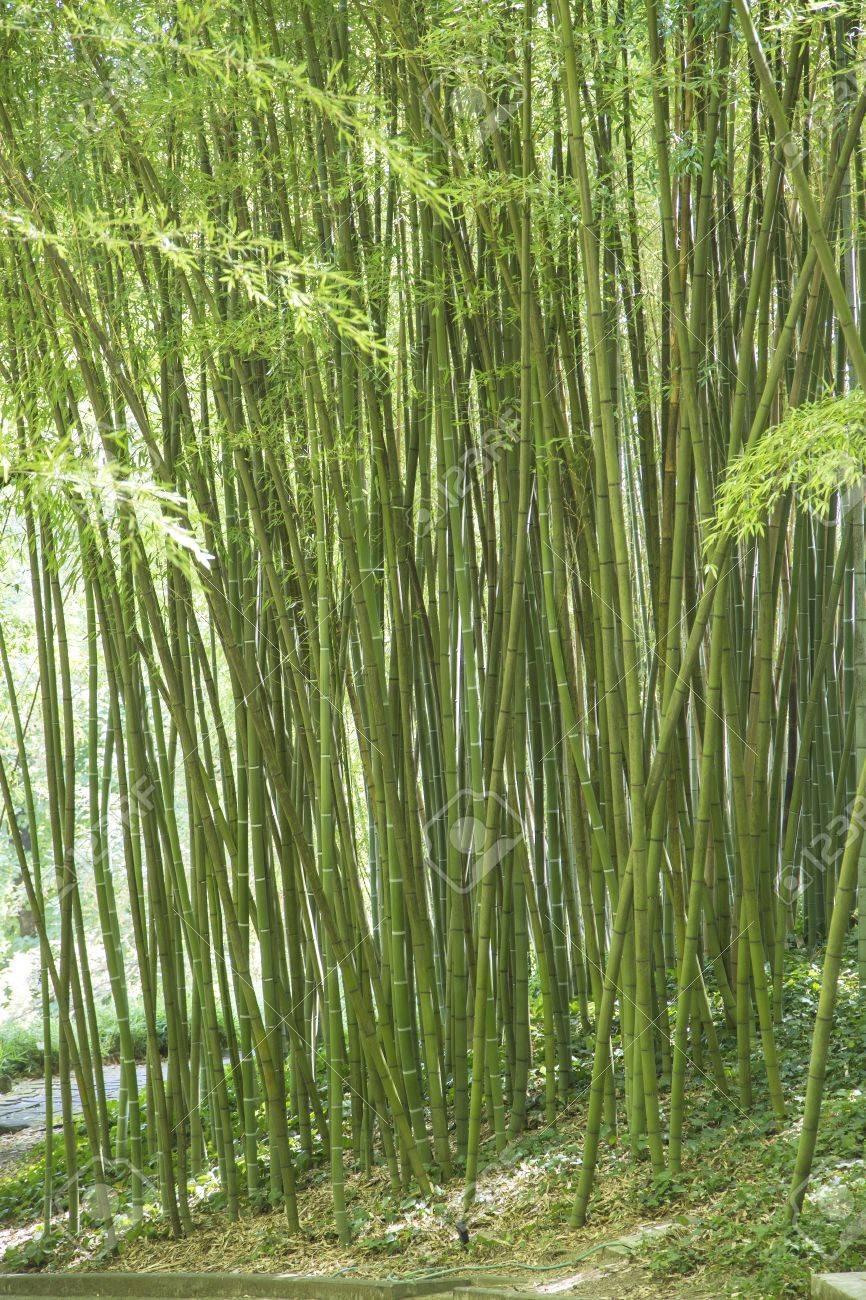 Vista De Canas Verdes De Bambu Gigante En Un Jardin Ornamental Fotos - Jardin-bambu