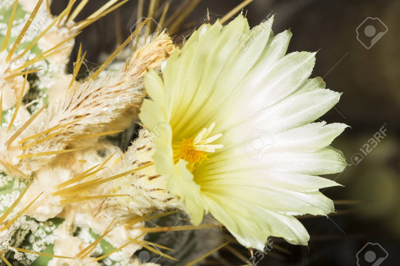 Bearing pale yellow flower of a parodia magnifica succulent plant bearing pale yellow flower of a parodia magnifica succulent plant eriocactus magnificus blossoming in mightylinksfo