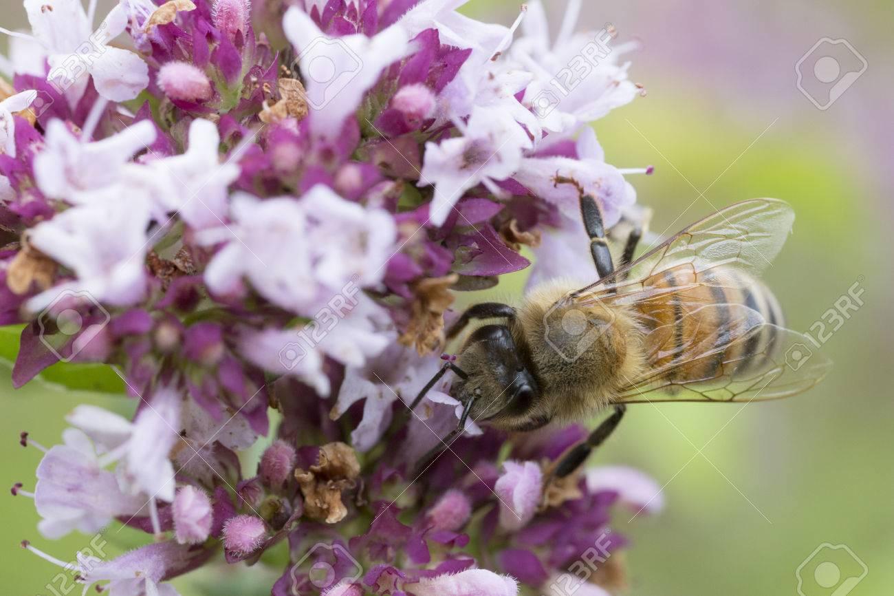 Bee on Purple Flower Wallpaper