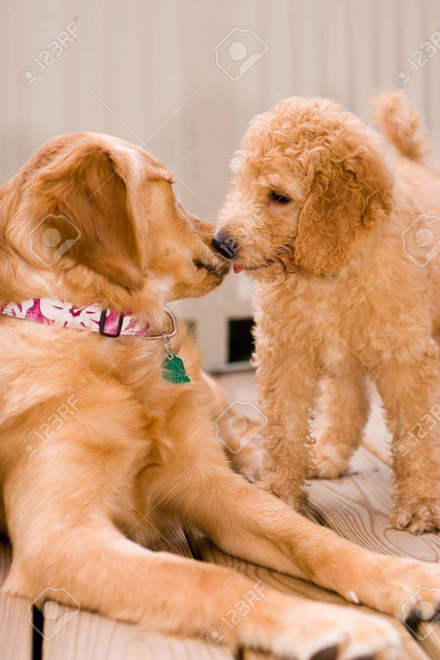 Labradoodle Puppy And Golden Retriever Stock Photo Picture And