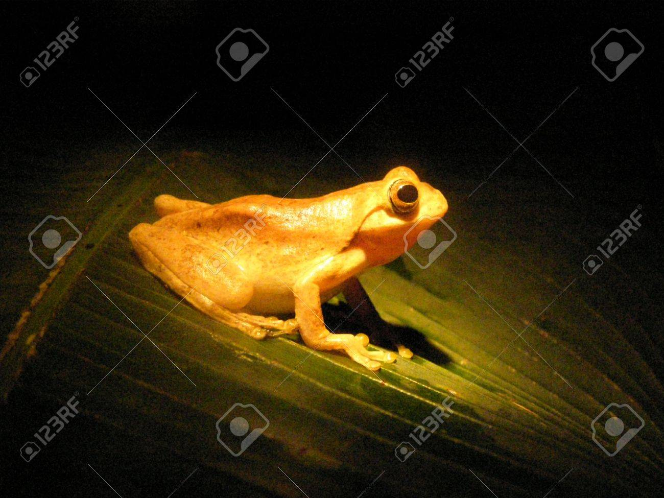 Tree Frog, Monteverde Cloud Forest, Costa Rica at night Stock Photo - 2891683