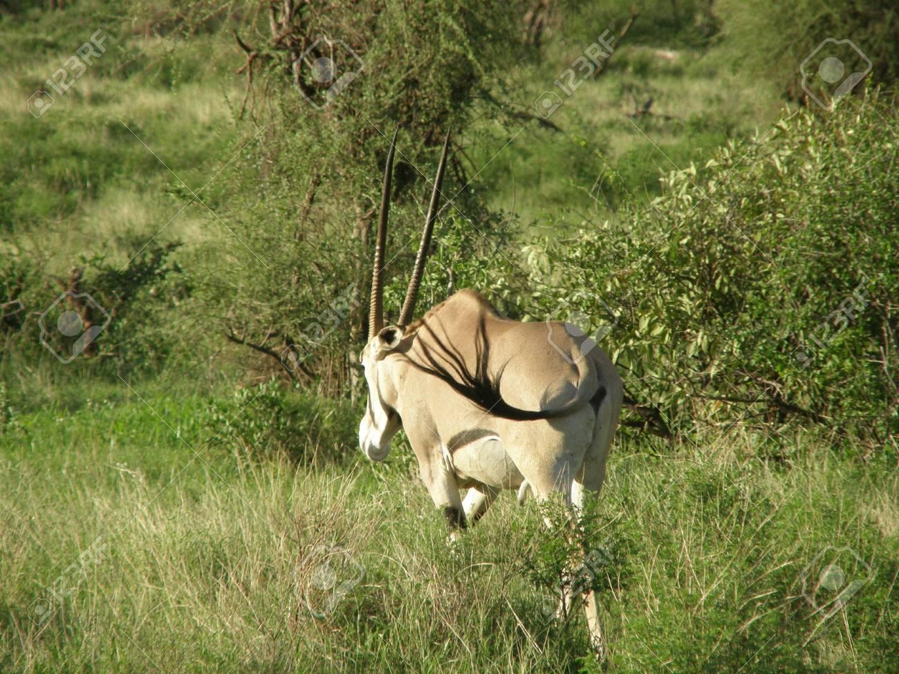 Kenya Safari, Oryx in Samburu Stock Photo - 3815660