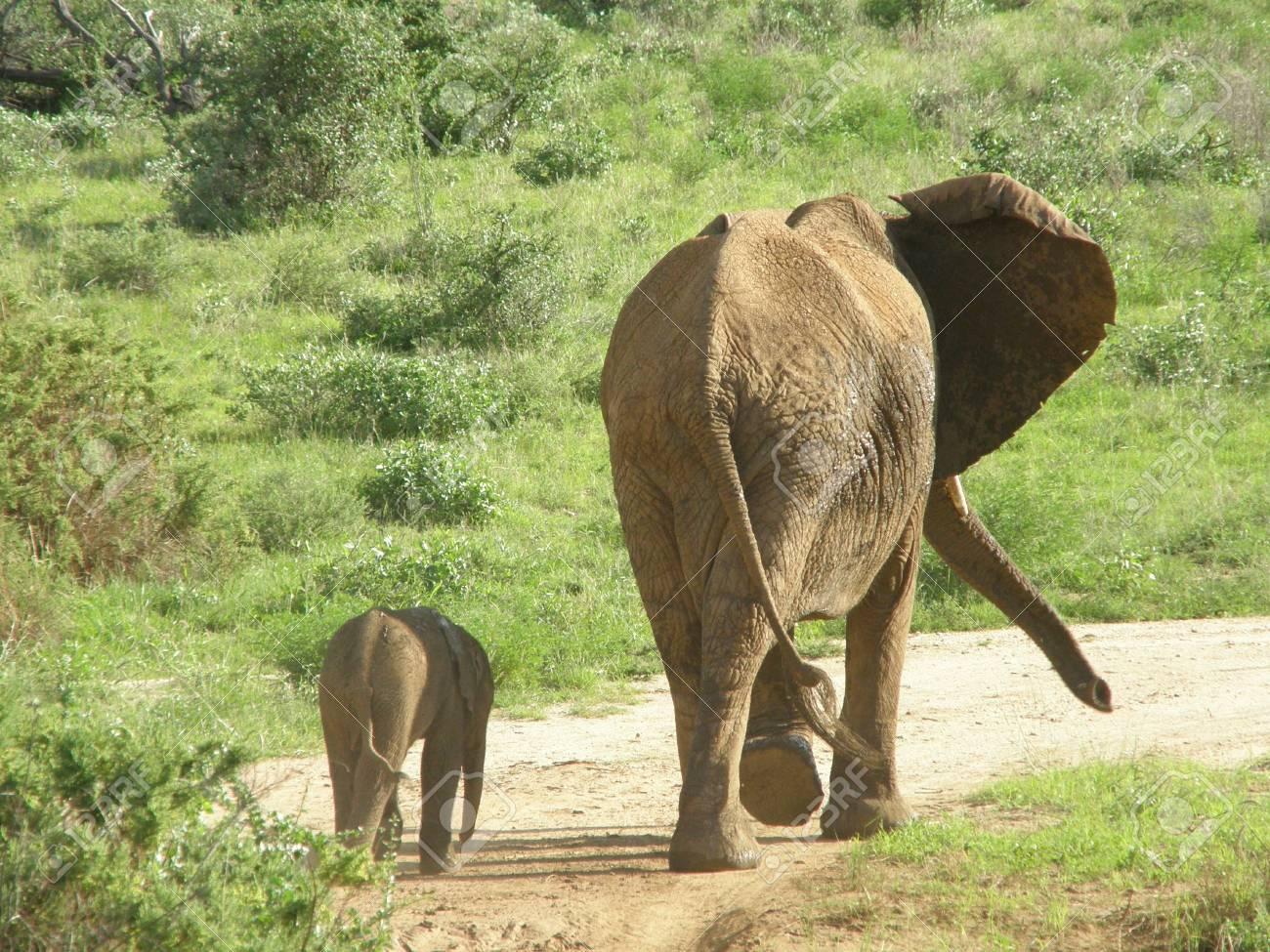 Kenya Safari, Elephant in Samburu Stock Photo - 3815757