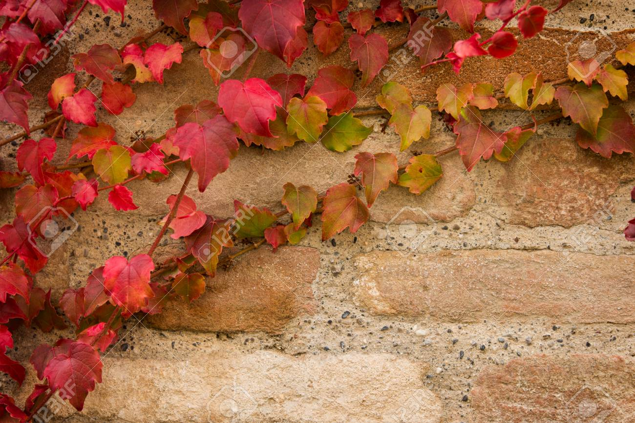 Autumn Background Brick Wall Wallpaper With Maple Leaves Creeper Stock Photo 89115096