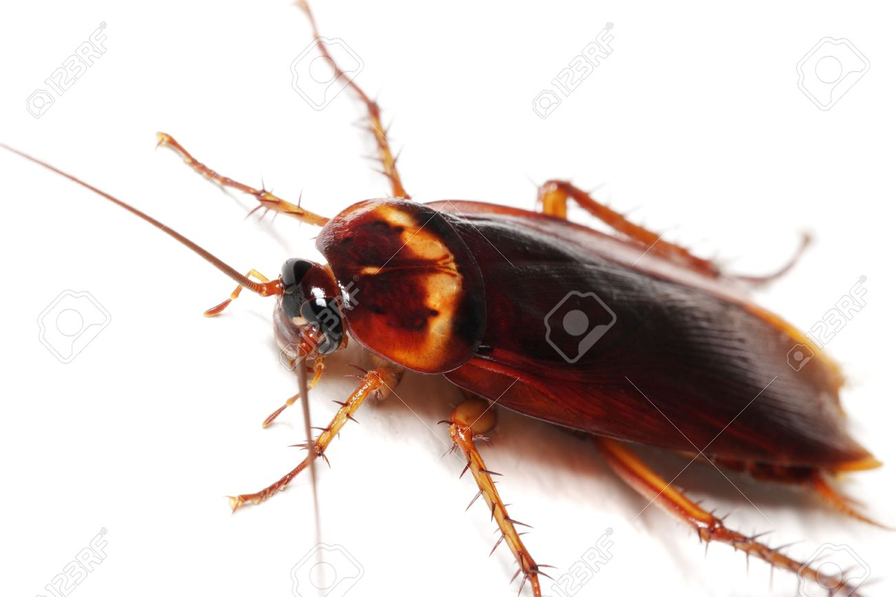 Close up of a cockroach on white background. Stock Photo - 3568665