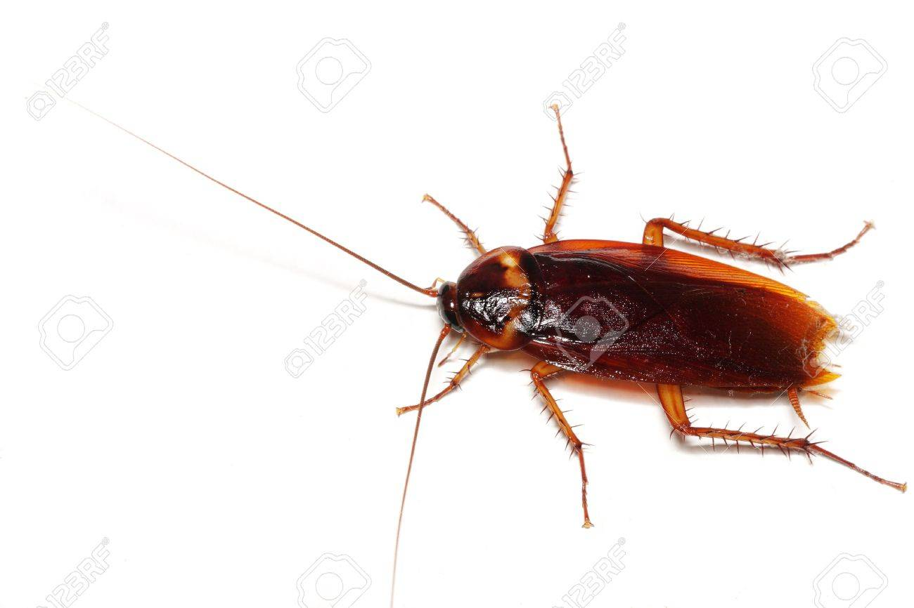 Close up of a cockroach on white background. - 3568664