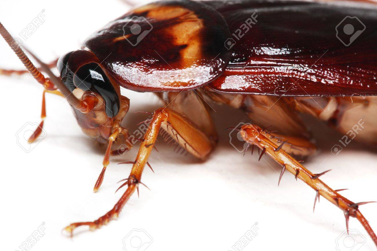 Close up of a cockroach on white background. - 3568670