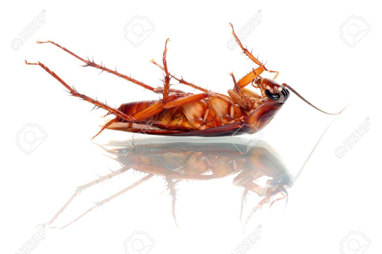 A dead cockroach isolated on white background. - 4577227